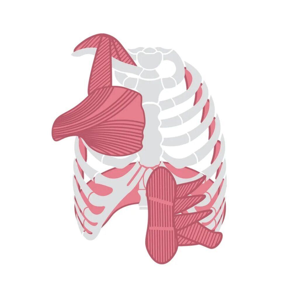 airofit-miesnie-oddechowe